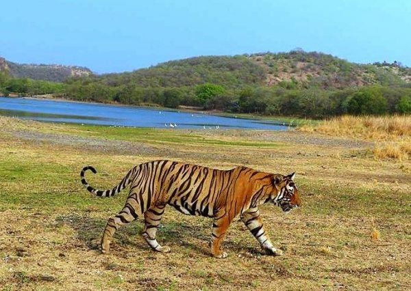 Ranthambore from Delhi Places to visit in winters in India